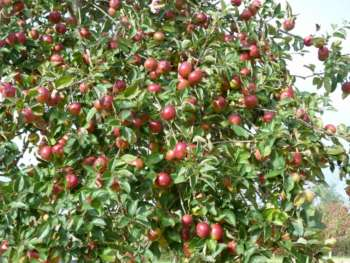 Crab Apples Galore In The Community Orchard