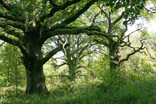 Ancient oaks at Piddle Wood (to S of area)