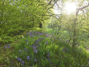 Bluebells at Neroche