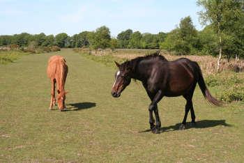 Blackdown Common horses