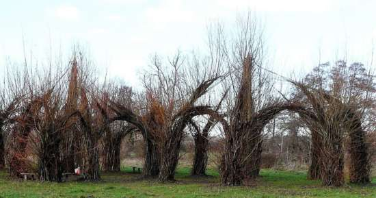 The Willow Cathedral
